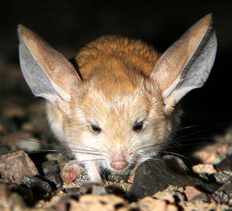 long eared jerboa mike white s blog