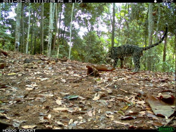 Clouded leopard - Macan dahan - Neofelis diardi