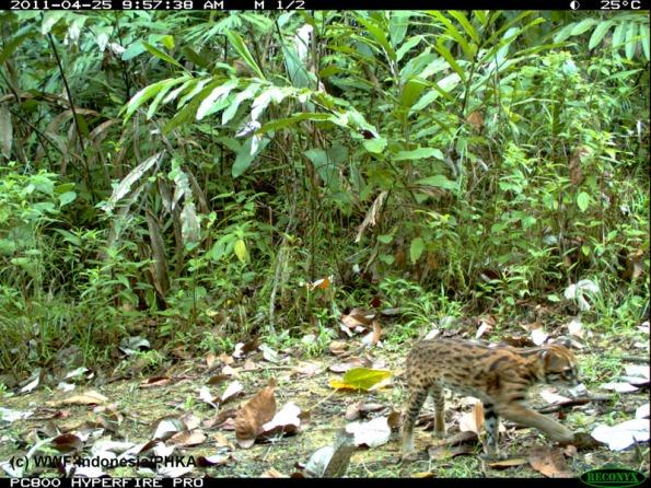 Leopard cat - Kucing congkok - Prionailurus bengalensis
