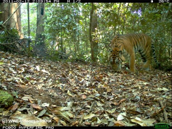 Harimau Sumatera - Panthera tigris sumatrae